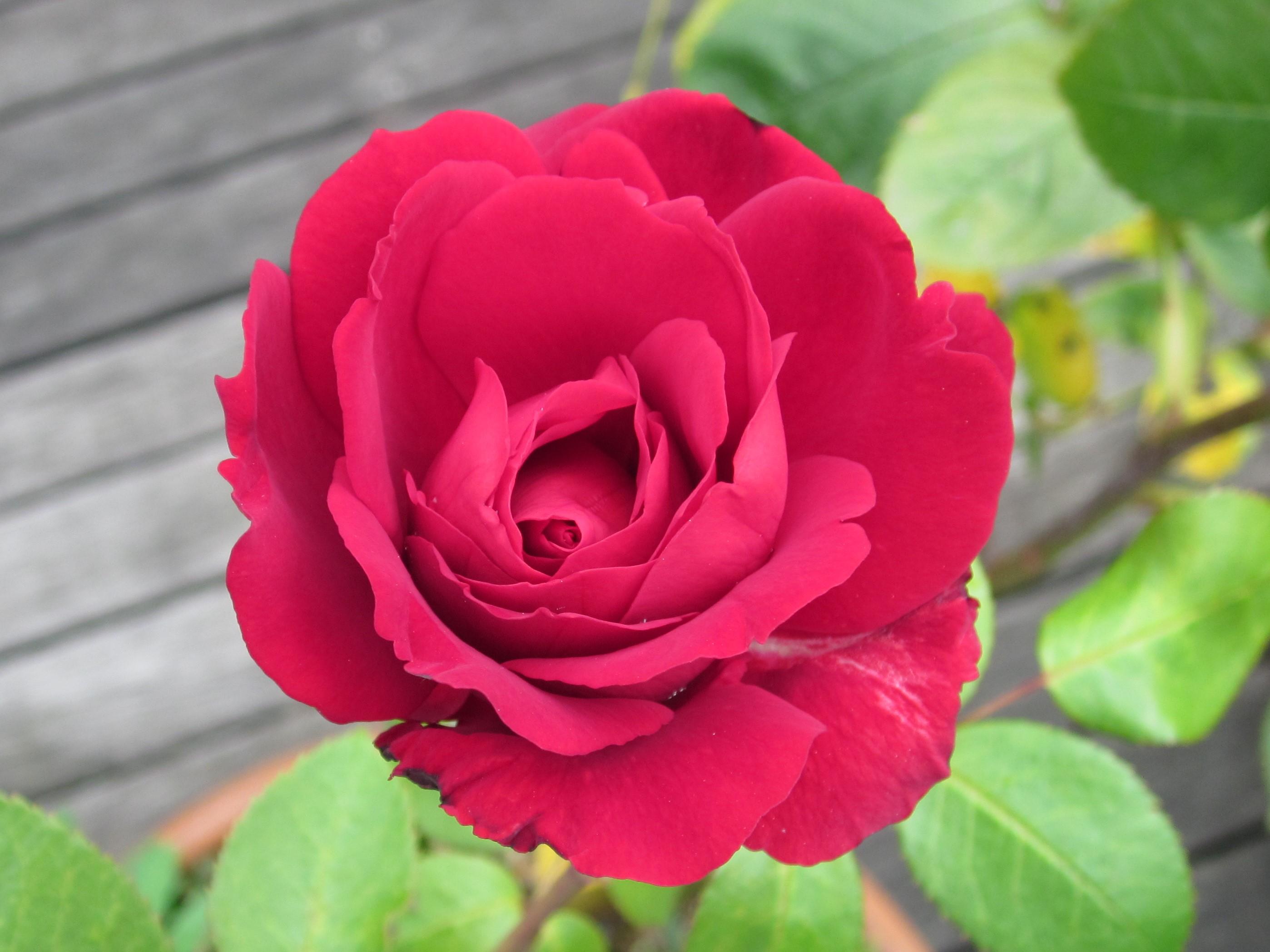 au coeur de la rose.JPG